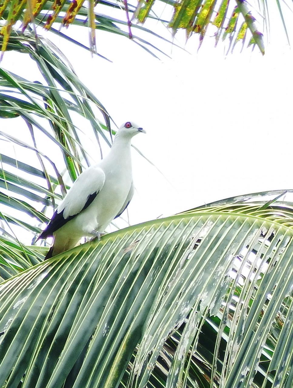 Neue Populationserfassung von Vogelarten auf der Insel Simeulue